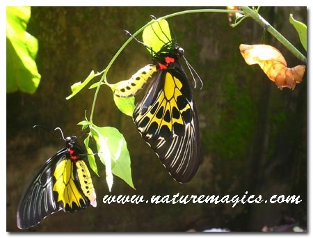 'southern bird wing' butterfly